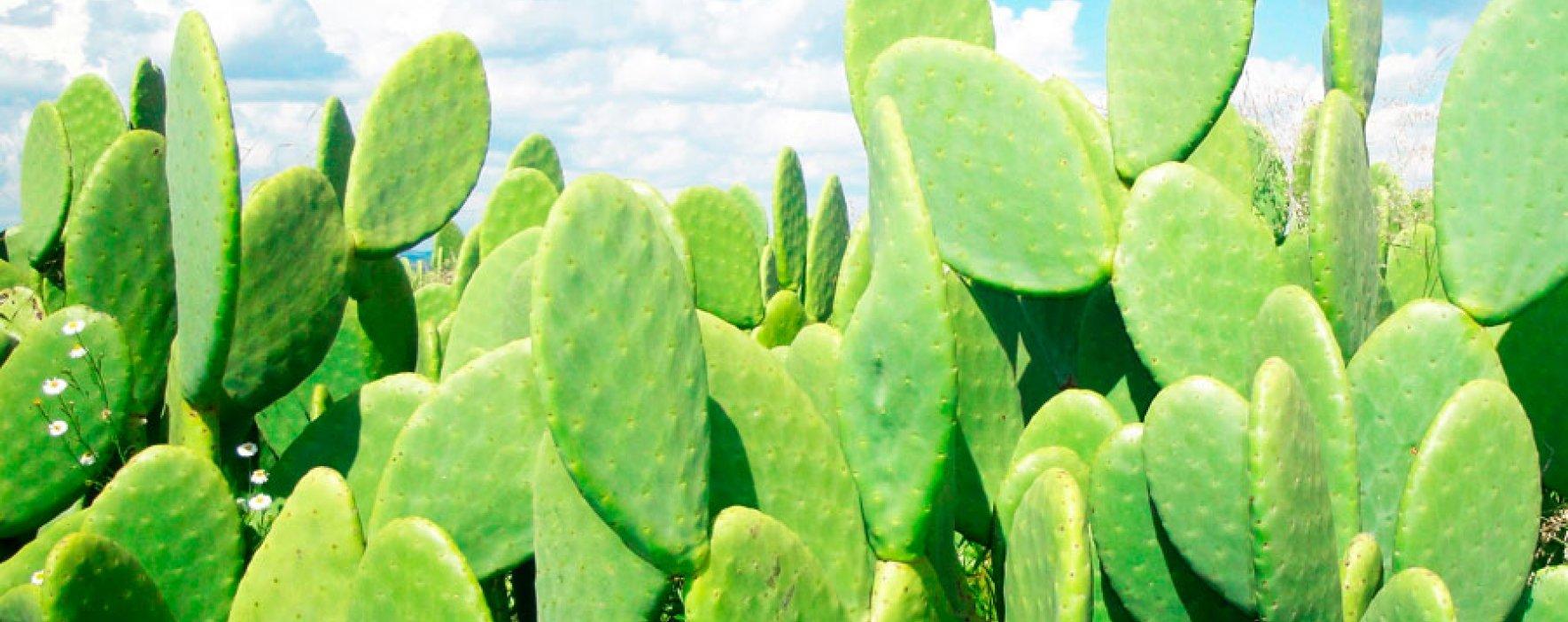 Conozca el cactus generador de energía