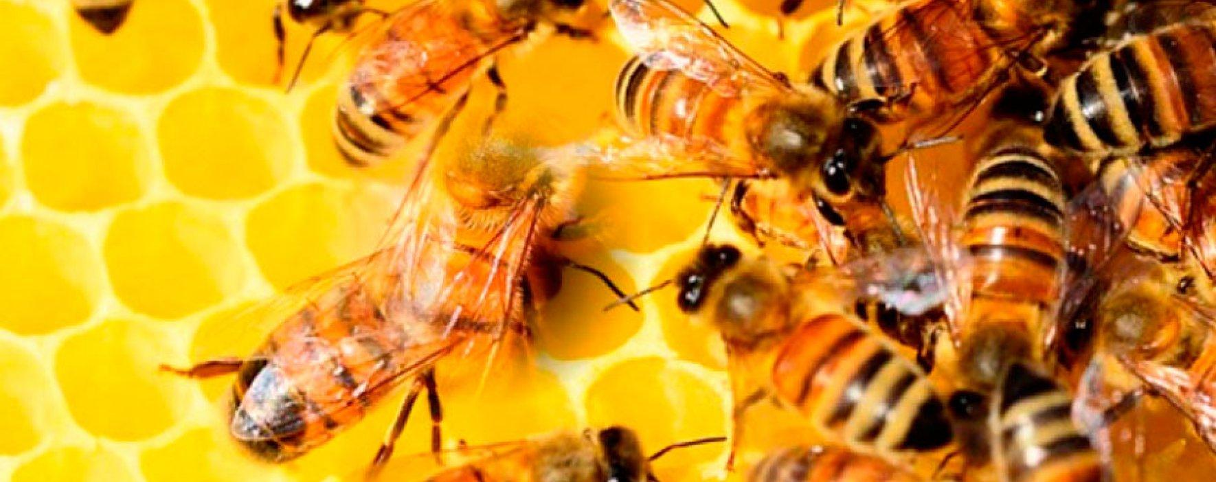 ¿Existe alguna consecuencia si las abejas se extinguieran?