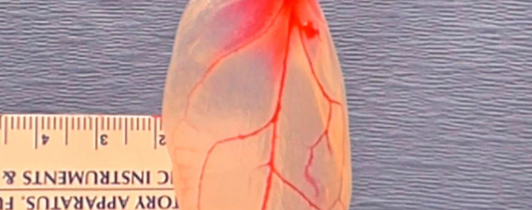 Técnica para diseñar órganos mediante células vegetales