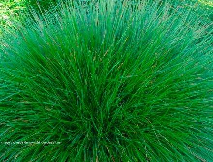 Hierba produce cantidades significativas de hidrógeno