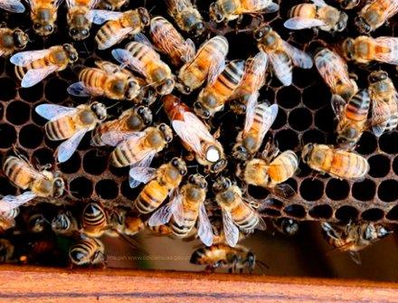 Las abejas endulzan el sector de la bioeconomía en Colombia